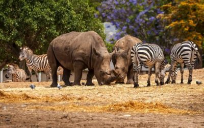 Some Zebras and Rhinoceros are in the forest